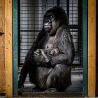 Naissance d'un bébé gorille issu d'une espèce menacée dans la Loire