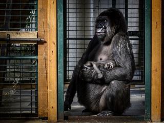 Bebe gorille, naissance d un petit de l espece gorille des plaines de l ouest