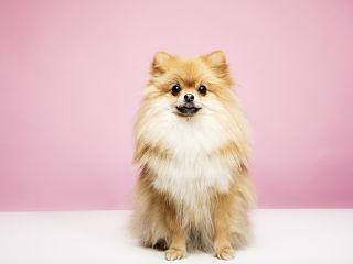 Cafe chiens pour la sortie de comme des betes 2, les pomeraniens a l honneur a Londres