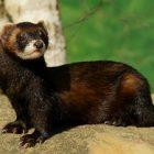Le putois: la préservation de cette espèce menacée d'extinction est primordiale
