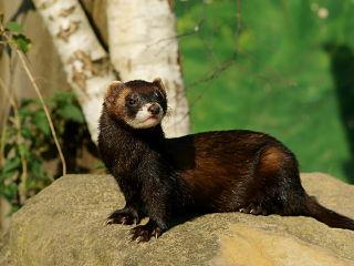 Putois, espece menacee faisant partie des mammiferes en voie d extinction selon la SFEPM