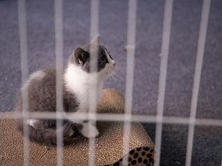 Chine, clonage d un chat apres une experience scientifique de Sinogene