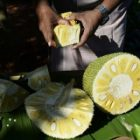 Le jaque, ce fruit qui fait de plus en plus d'adeptes