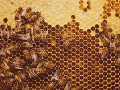 Maladie chez les animaux, la quarantaine chez les abeilles et les chimpanzes