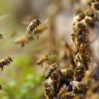 Abeilles: comment protéger ces insectes pollinisateurs?