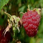 La framboise, un fruit bénéfique au corps !