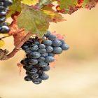 Le raisin, un fruit à apprécier pour ses vertus santé !