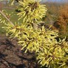 Hamamélis, une plante bénéfique au corps