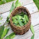 Laurier : comment cette plante aide-t-elle le métabolisme ?