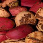 Santé : les vertus de la noix de cola