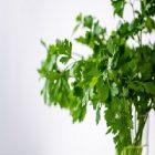 Persil : une plante qui métamorphose la peau