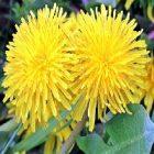 Pissenlit : une plante bénéfique en cosmétiques