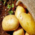 La pomme de terre et ses vertus pour la peau