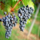 Le raisin et ses multiples vertus beauté